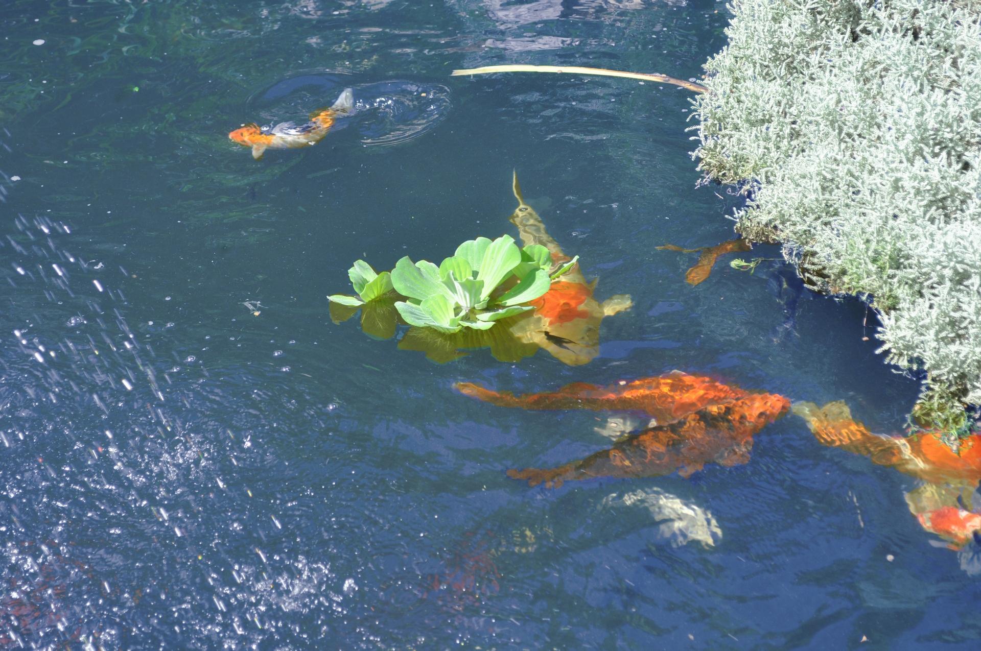 La scelta dei pesci per il laghetto laghetti ornamentali for Laghetto pesci