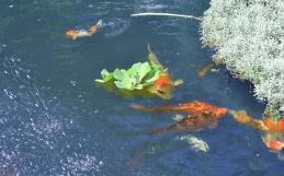 La scelta dei pesci per il laghetto
